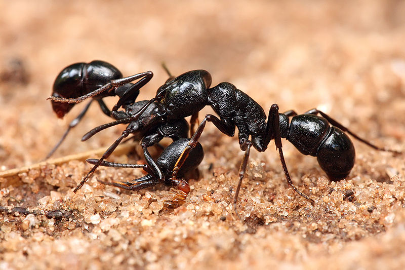 black ants in cavities how to get rid of them