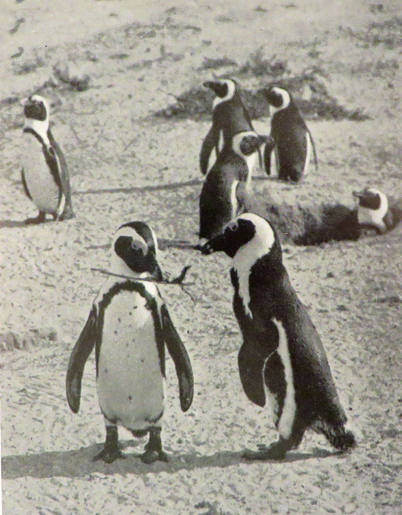 28212 1 Old Print Article: Cherry Kearton Photographs Penguin Island (1931)